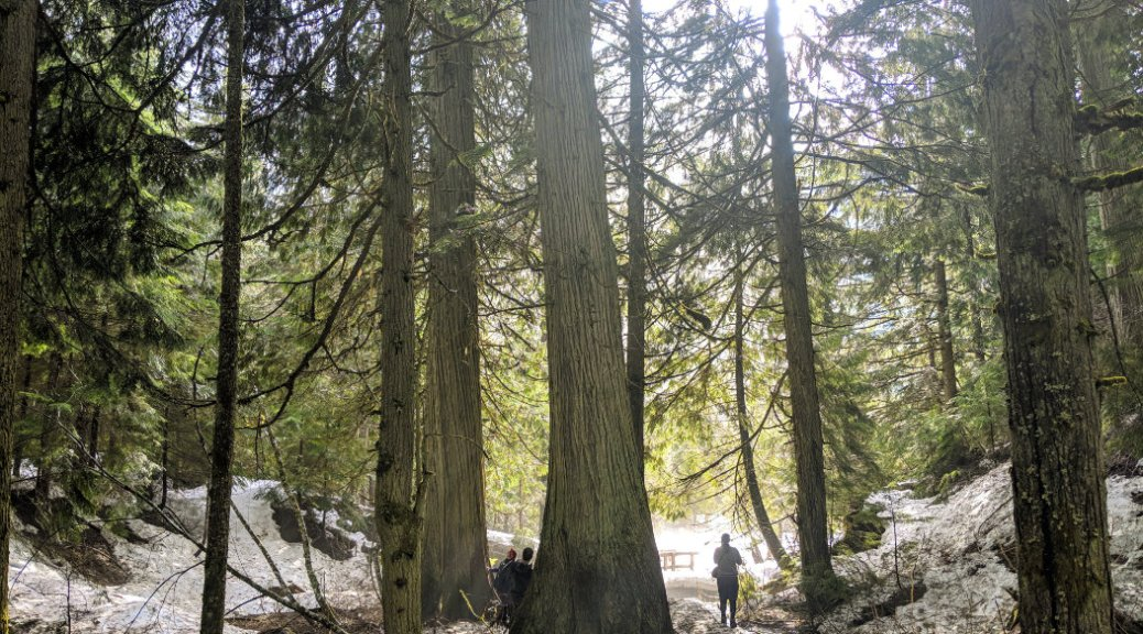 You'll feel so tiny compared to the cedars