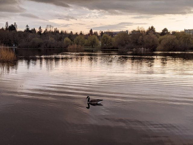 Goose on Trout Lake
