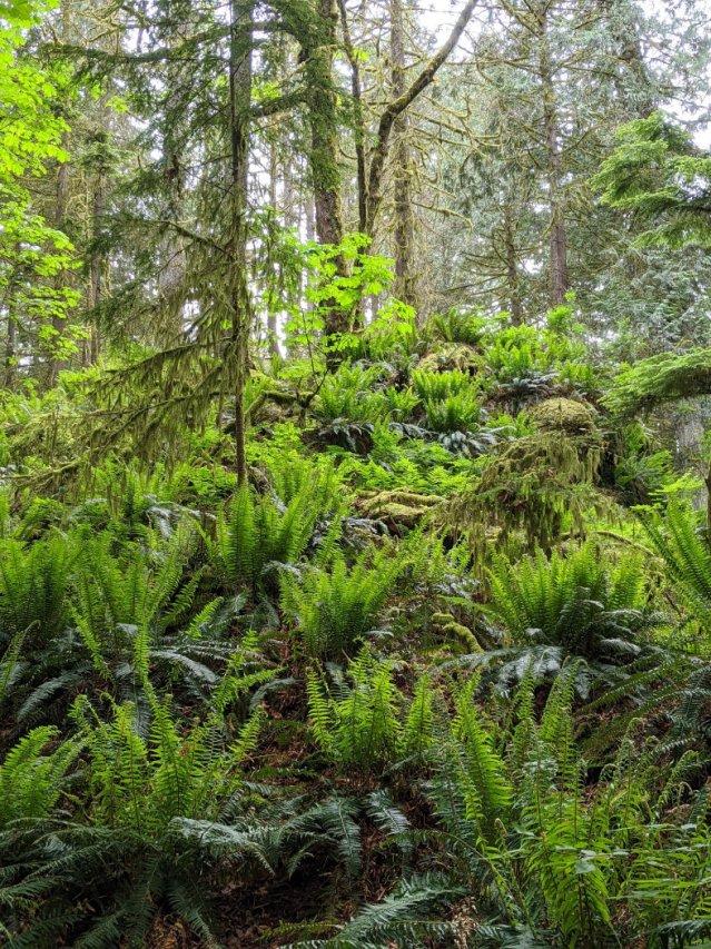Belcarra Regional Park ferns on the Jug Island beach trail