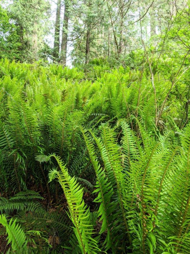 So many ferns in Belcarra Regional Park