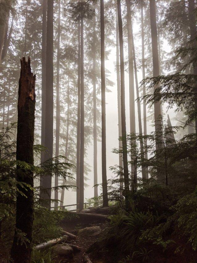 Misty trees in Lynn Headwaters Regional Park