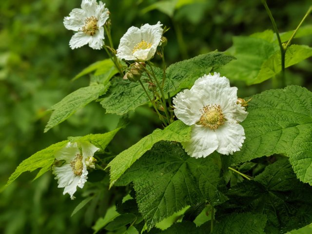 Thimbleberry flowers in the forest