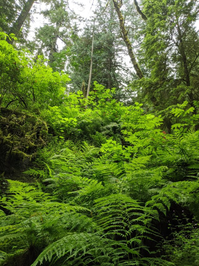 Joan Greenwood Loop trail ferns