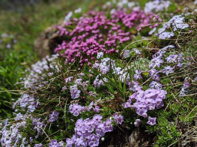 Spreading phlox flowers