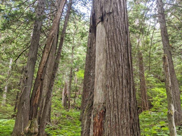 Culturally Modified cedar Tree - Quatqulhp
