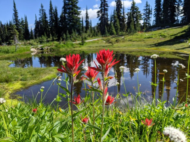Heather Lake paintbrushes - Meadows in the Sky