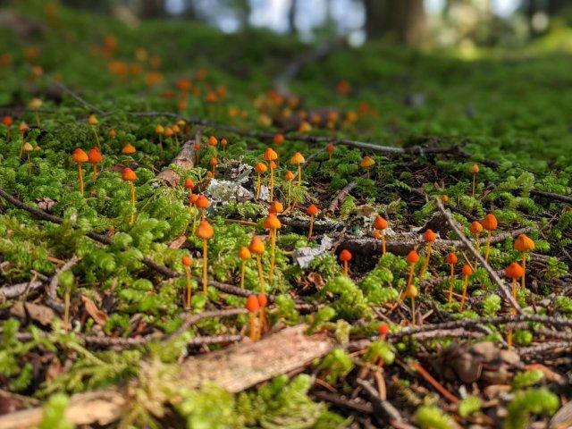 mycena acicula/ orange bonnet - little orange fungi popping out of the moss