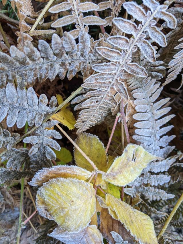 Frosty ferns on bear mountain