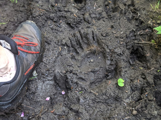Bear paw in the mud