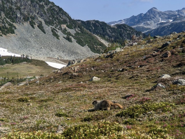 Marmots by Russet Lake