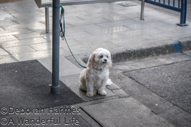 Small white dog waits patiently for his owner to return from the cafe.