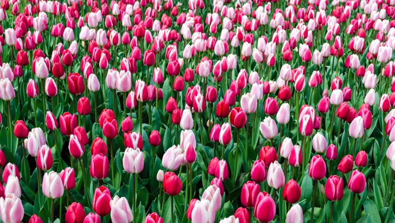 Mixed colors of tulips at Keukenhof