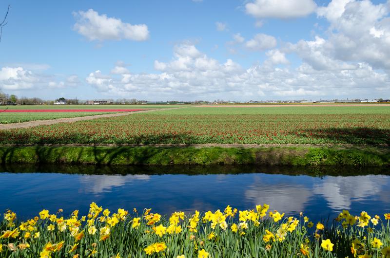 Tulip fields in Lisse near Keukenhof