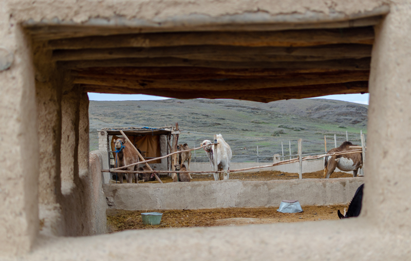 view of the camels
