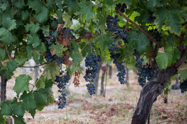 grapes at Casa Dambra