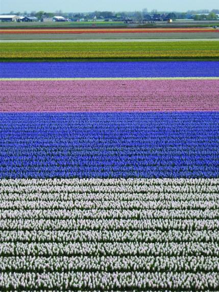 Tulips fields in the Netherlands