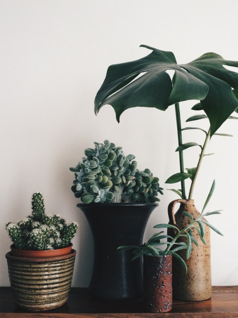 cactus, echeveria, senecio, monstera