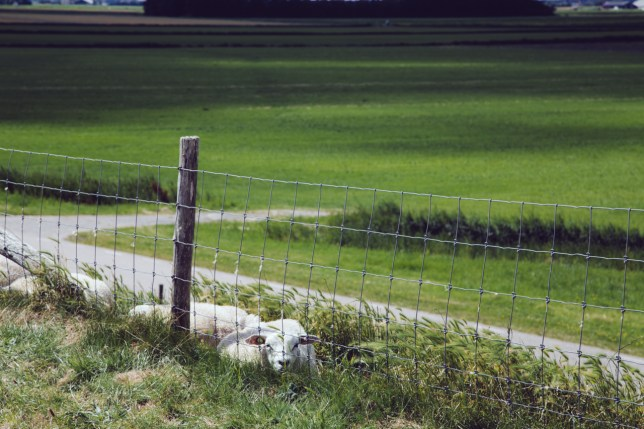 Green landscape with sheep. Texel.