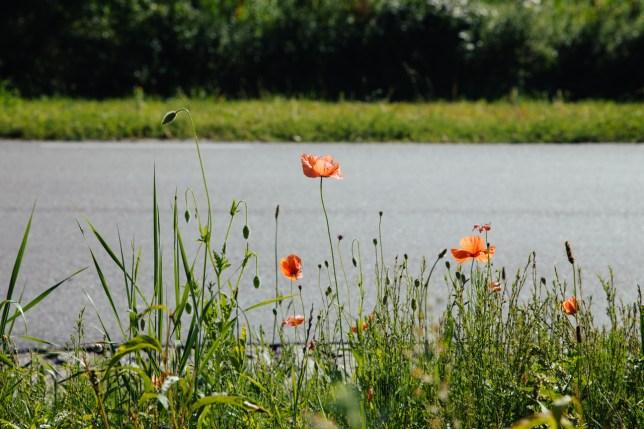 Roadside poppies.