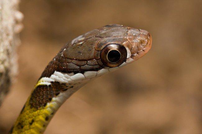 big eye snake