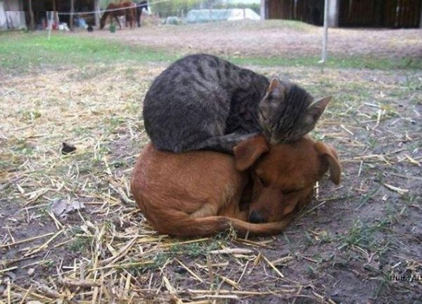 unlikely-sleeping-buddies-kit-dog