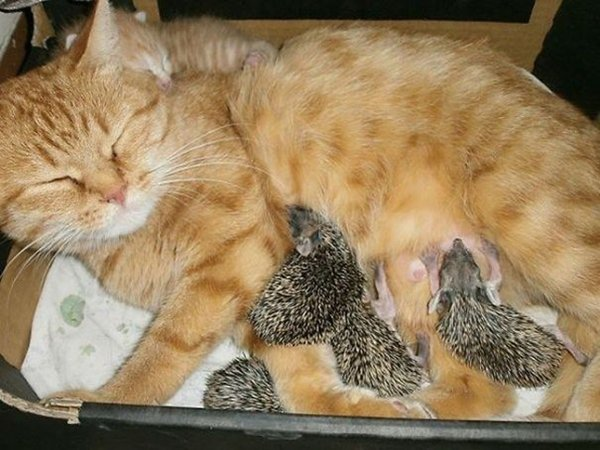 unlikely-sleeping-buddies-momma-cat-hedgehogs