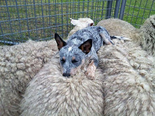 unlikely-sleeping-buddies-sheep=dog