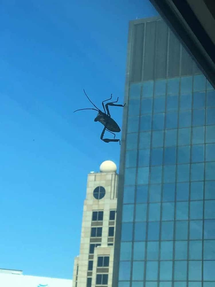 giant-grasshopper-in-a-windshield-unbelievable-real-photos
