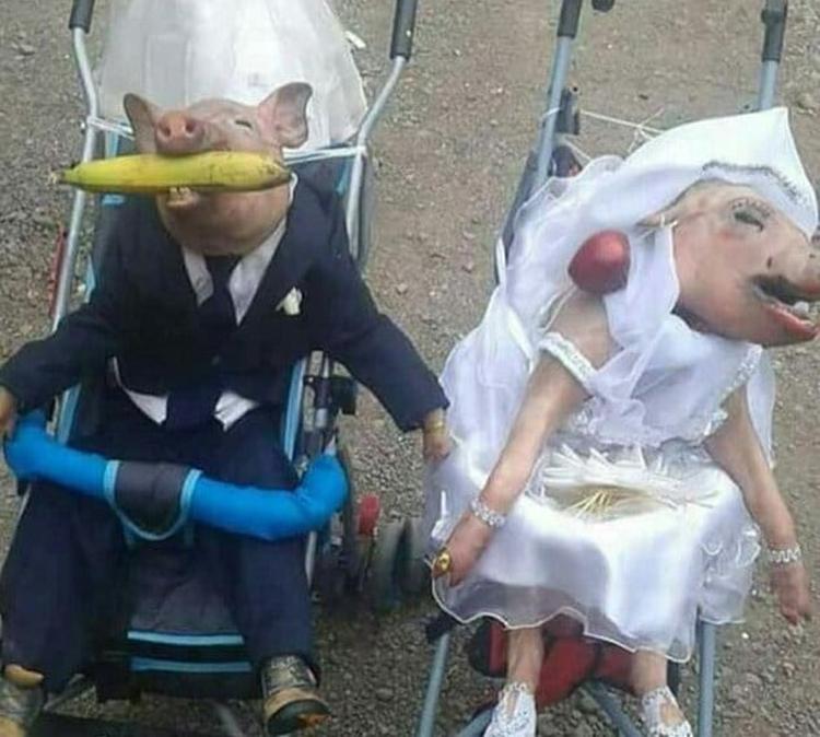 married-pig-couple-insane-photos