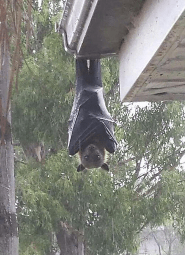 batwing on the roof scary animals in Australia