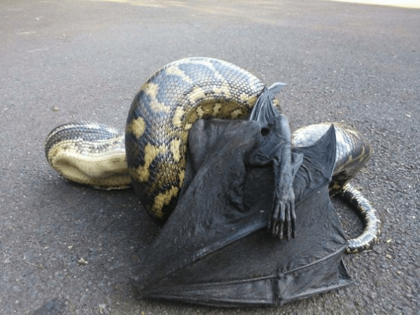 snake and a bat scary animals in Australia