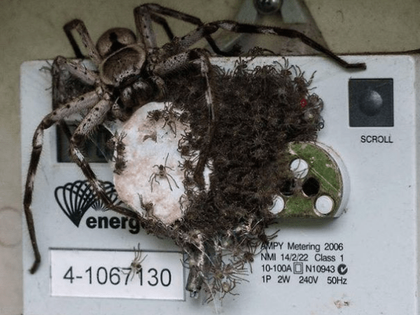 spiders thriving in electricity meter scary animals in Australia
