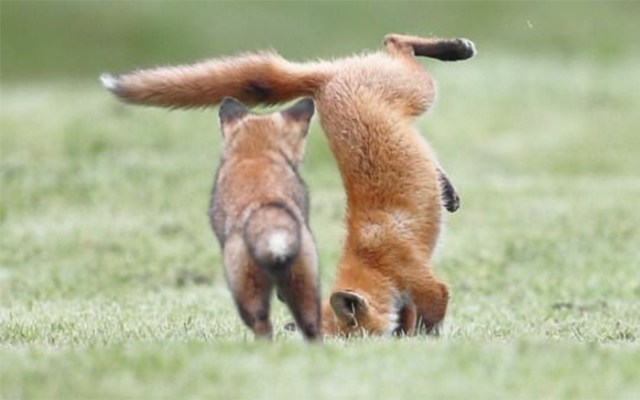 fox upside down