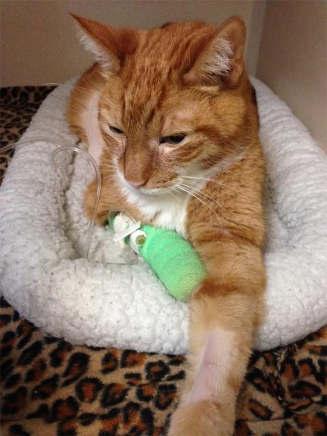 heartbroken cat refuses to eat