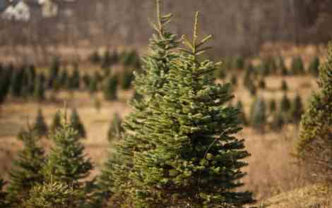 The Best Christmas Tree Farms in Michgian