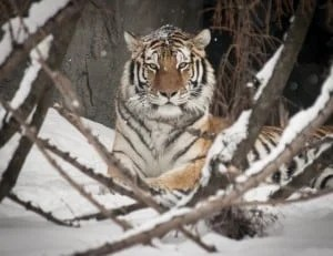 Kisa in the Snow by Mark M. Gaskill