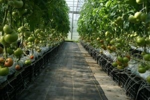 Greenhouse at Visser Farms, photo courtesy of Visser Farms
