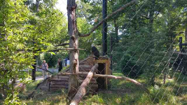 Potter Park Zoo Bald Eagle - #MittenTrip Lansing - The Awesome Mitten