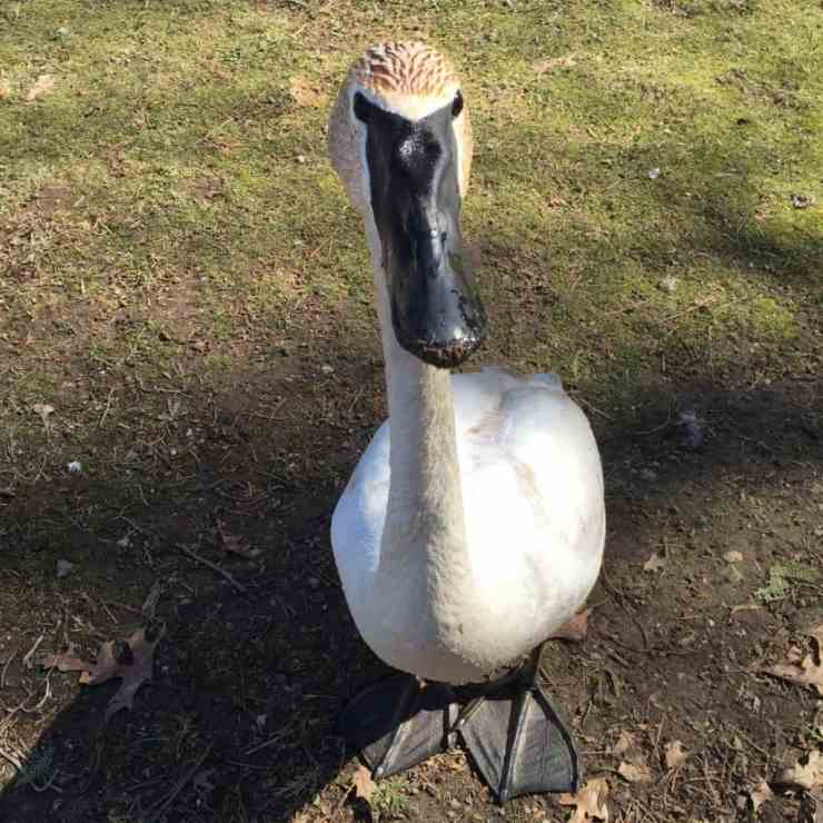 Making friends with the Trumpeter Swans. Photo by Rhonda Greene.
