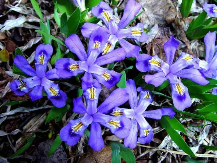 The Dwarf Lake Iris. Photo by Charles and Diane Peirce
