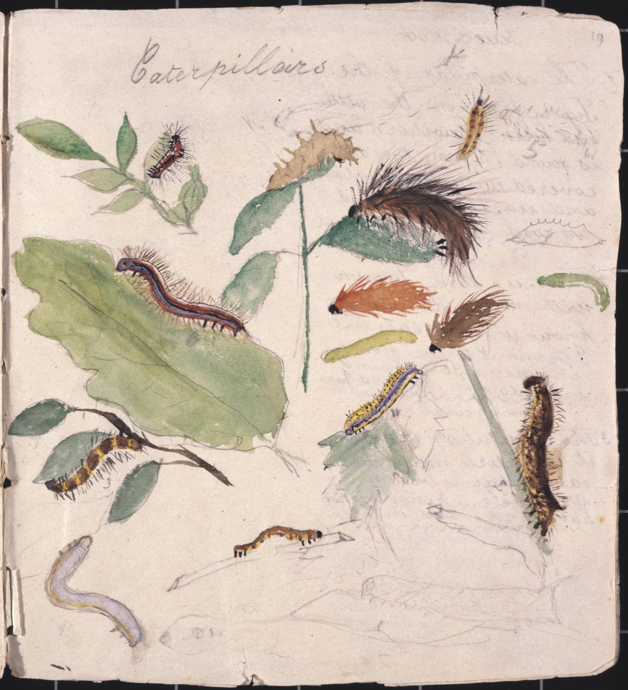 Beatrix Potter Youthful Drawing Of Caterpillars