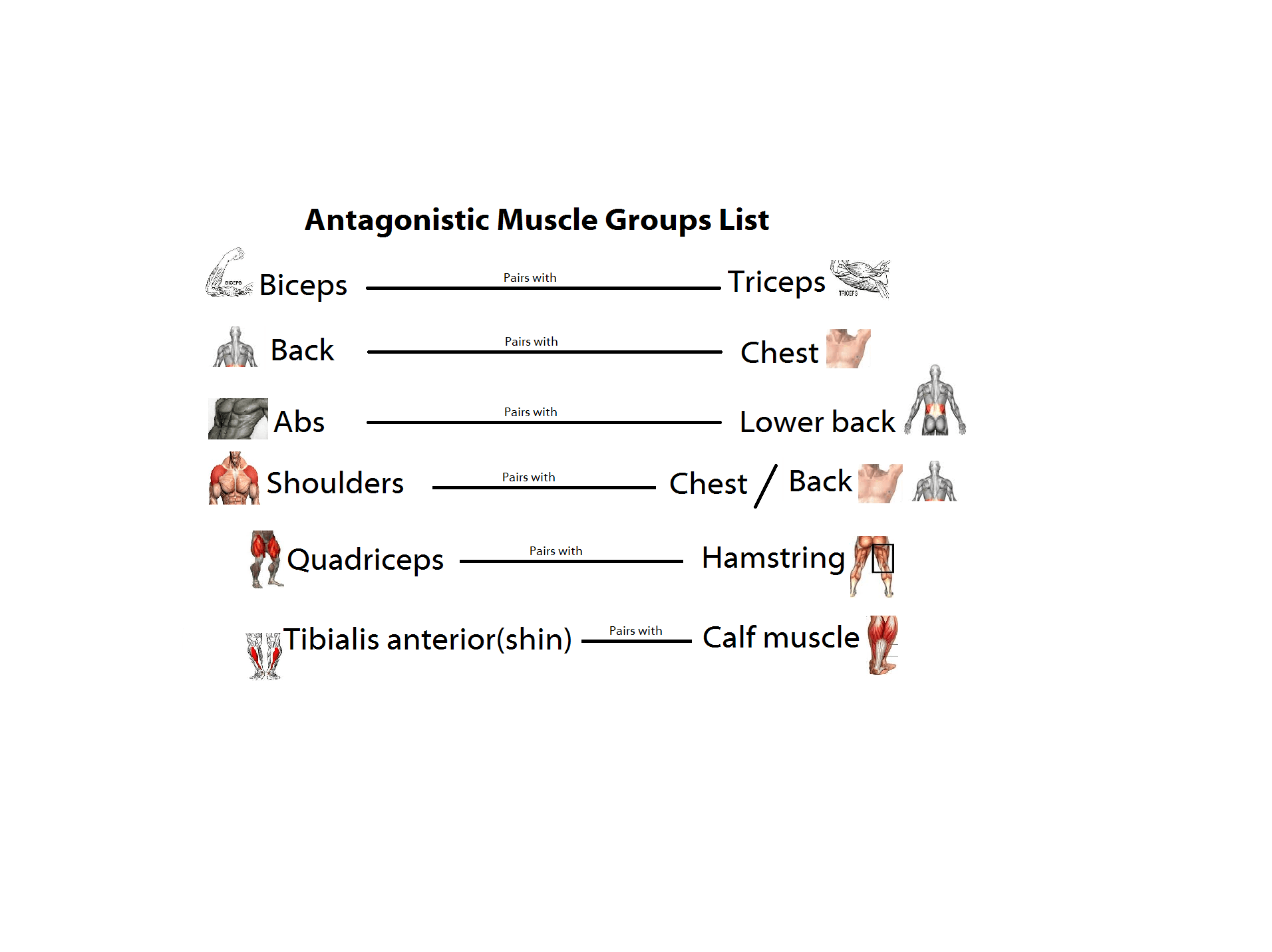 Skeletal Muscles And Antagonistic Pairs