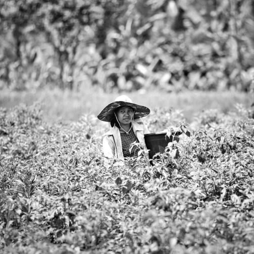 Hard-working Indonesia human under an intense heat in the fields of Rumah Desa, Tabanan.