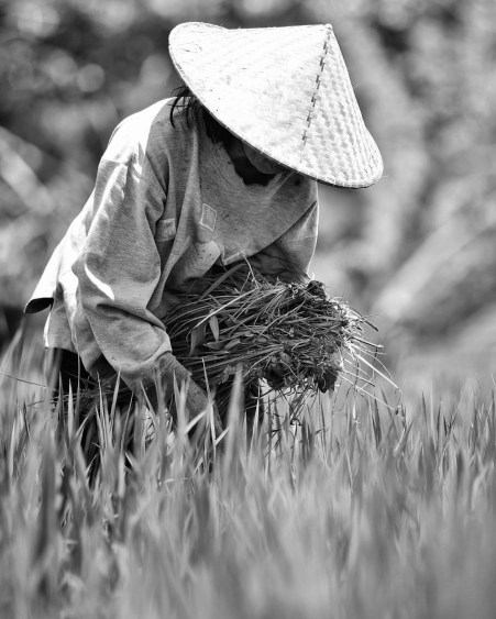 Harvesting rice. In Tabanan, Bali island, Indonesia.