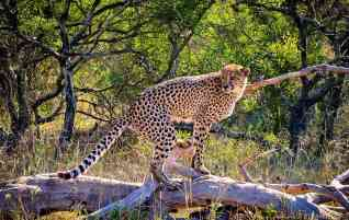 A leopard in Phinda Private Game Reserve - South Africa - A World to Travel
