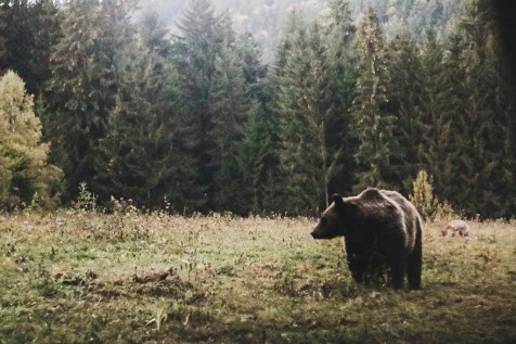 Bears - Visit Covasna County A Stunning Land of Mansions in the Romanian Transylvania - A World to Travel