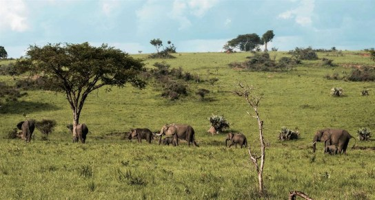 Elephants at Murchison Falls National Park - Best National Parks And Uganda Safaris - A World to Travel