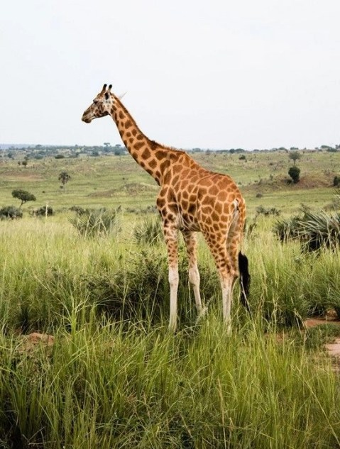 Giraffe - Best National Parks And Uganda Safaris - A World to Travel