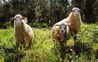 Local Galician fauna - Sheep - A World to Travel