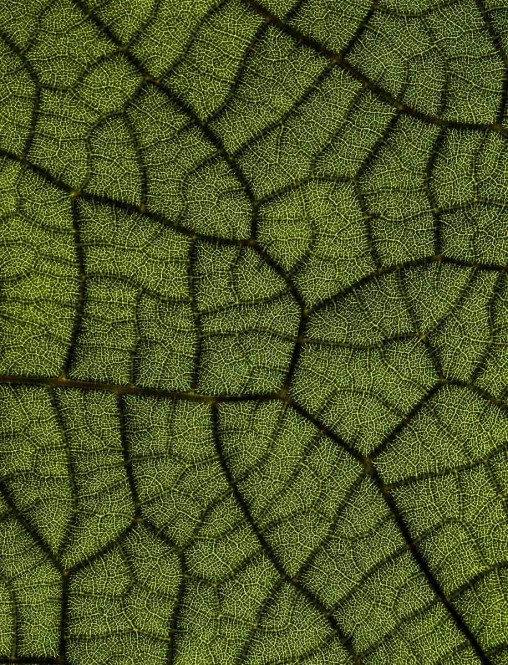 Leaf veins of a Sea Grape leaf photographed with a macro lens and lit from behind